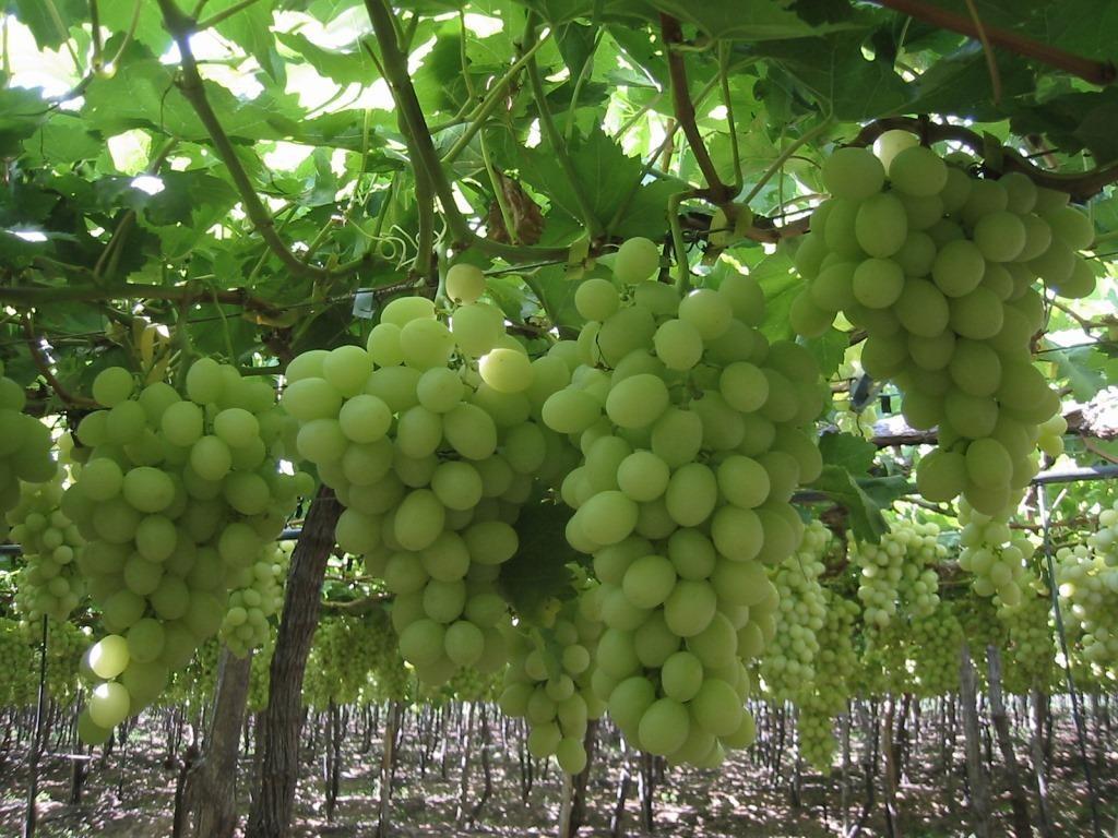White grapes seedless - Seedless grape cultivars ...