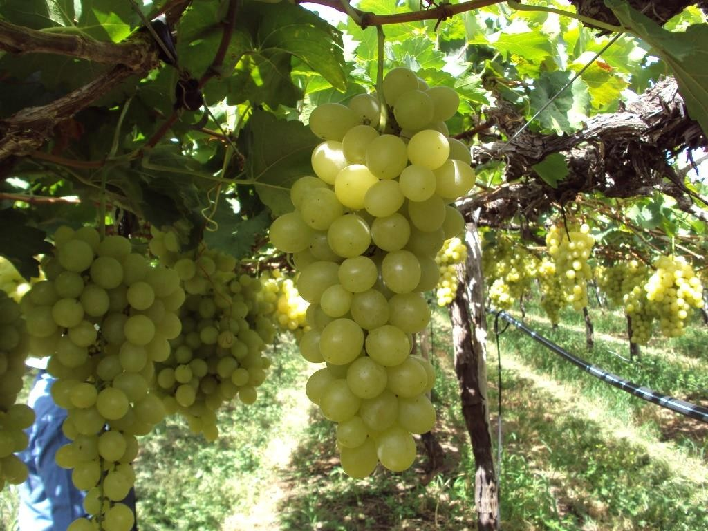how to grow globe grapes from seeds
